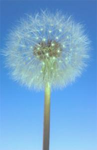 Dandelions-450pxHt